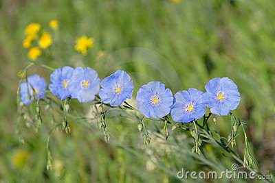 Group flax flowers