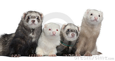 Group of four ferrets
