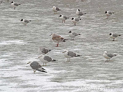Group of freezing seagulls