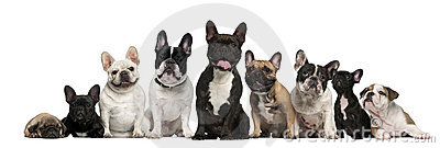 Group of French bulldogs in front of white