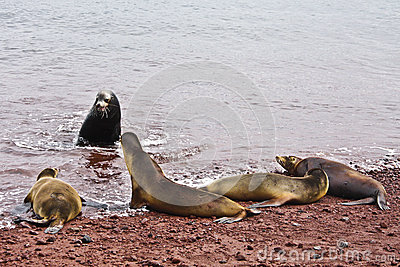 Group of Galapagos sea lions