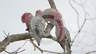 Group gang-gang cockatoos in a tree in Kalbarri, Western Australia stock video