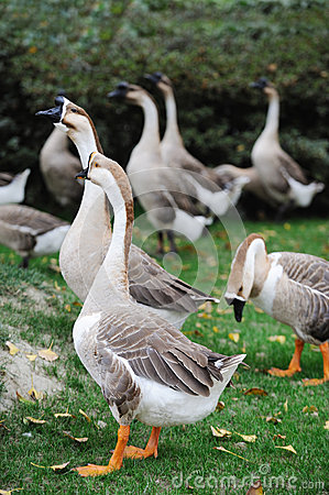 A group of geese