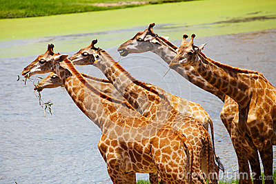 Group of Giraffes Eating Grass, Safari