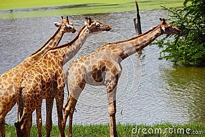 Group of Giraffes Eating Grass, Safari