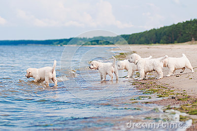 Group of golden retriever puppies at the sea