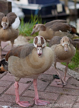 Group gooses