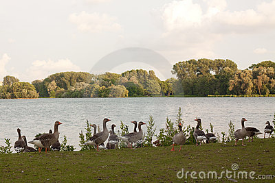 A group gooses