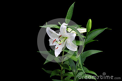 Group of gorgeous white budding and bloomed Christmas lilies