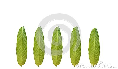 Group of green foliage tropical leaf isolated on white backgrounds Stock Photo