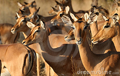 Group of impala females