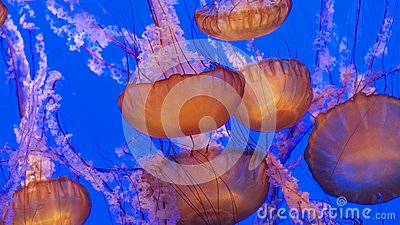 Group of jellies in deep blue water
