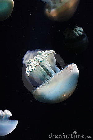 Group of jellyfish