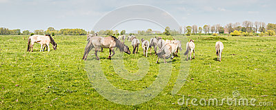 Group of Konik horses together