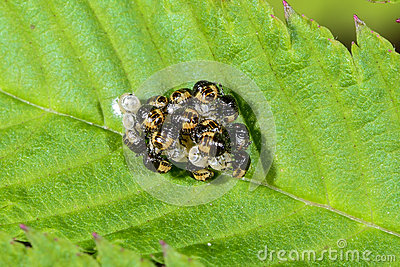 Group of larvae
