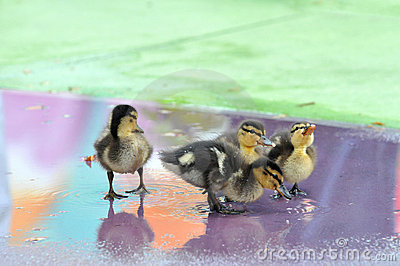 Group of Mallard Ducklings