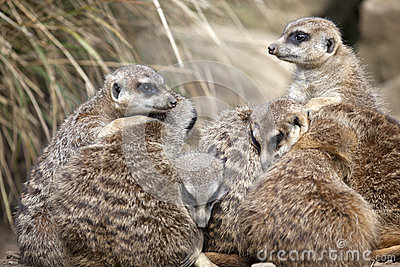A group of Meerkats