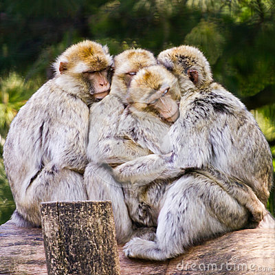 Free Group Of Barbary Macaque Cuddling Stock Photos - 48779183