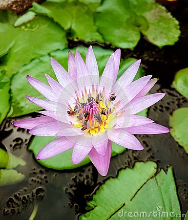 Free Group Of Bees On A Purple Shade Of White Lotus Flower Royalty Free Stock Photos - 68139208