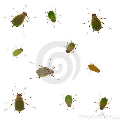 Free Group Of Green Aphids On White Background Royalty Free Stock Image - 13106676