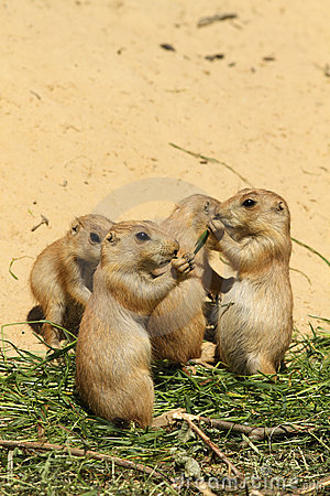 Free Group Of Little Baby Prairie Dogs Eating Stock Photos - 14687883