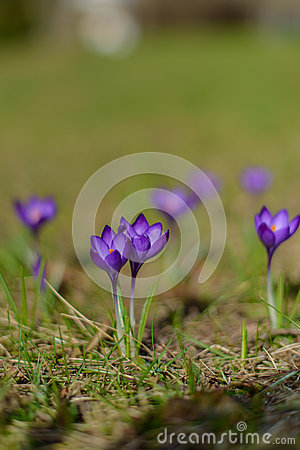 Free Group Of Purple Crocus Royalty Free Stock Photos - 38763468