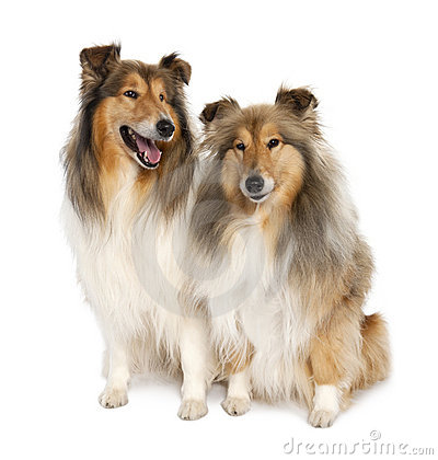 Free Group Of Two Shelties (5 And 6 Years Old) Stock Image - 9052681