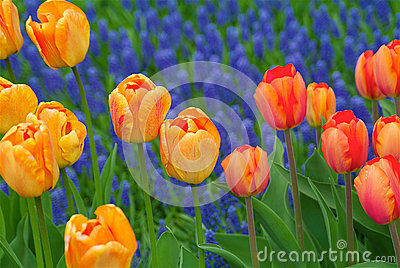 Group of orange and orange-yellow tulips