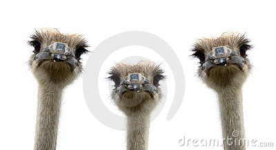 A group of ostriches isolated on white background