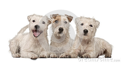 Group of Parson Russell Terriers lying