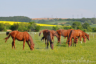 Group of purebred horses