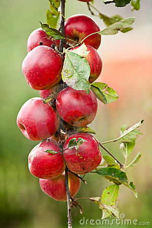 Group of red apples on a branch