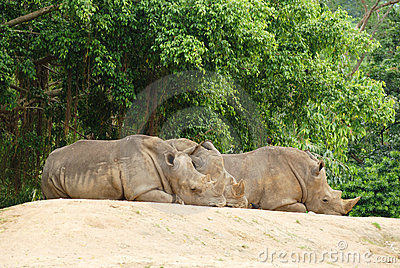 The group rhinoceros