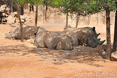 Group of rhinos