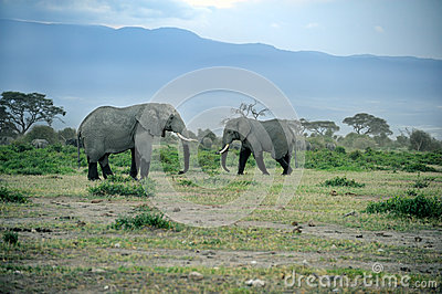 A group of savanna elephants with their babies.