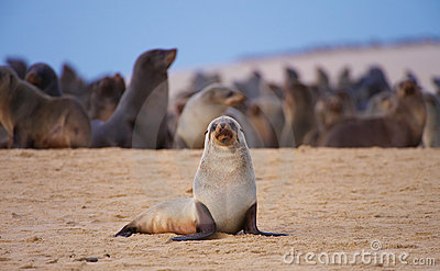 Group of sea lions on the beach