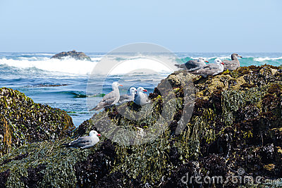 Group of seagulls on the rocky coast