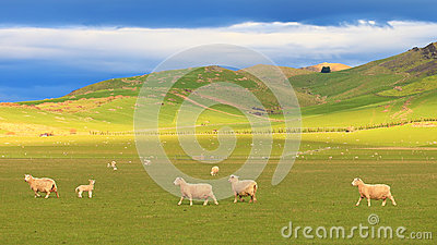 Group of sheep at rolling hills, New Zealand