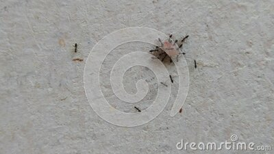 Group of small black ants stock video footage