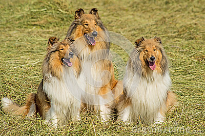 Group of three collie dogs