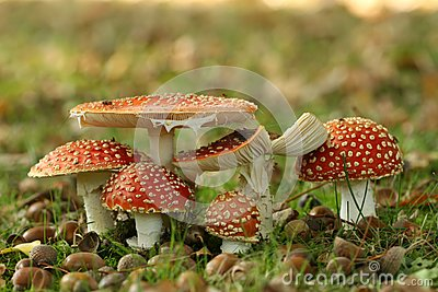 Group of toadstools