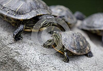 Group of Turtles Basking