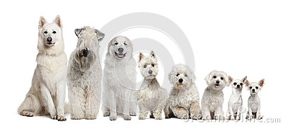 Group of white dogs sitting