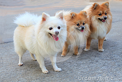 Group of white pomeranian dog and brown color