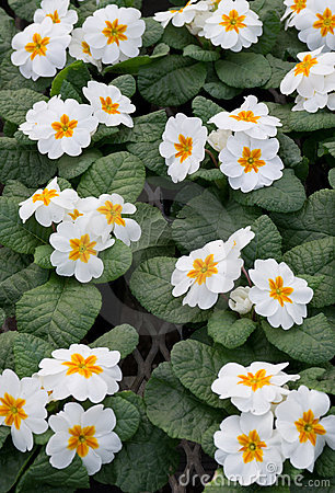 Group of white primroses in bloom