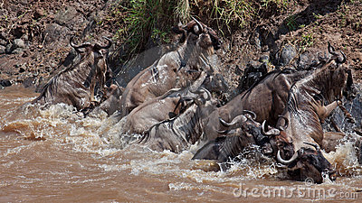 Group of wildebeest crossing the river Mara