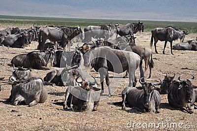 Group of wildebeest at Ngorongoro crater