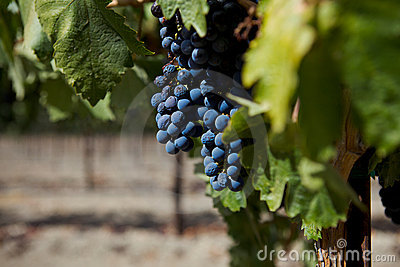 A Group of Wine Grapes At A Vineyard