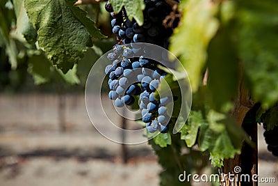 A Group of Wine Grapes At A Vineyard