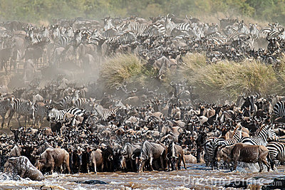 Group of wldebeest drinking water at the river